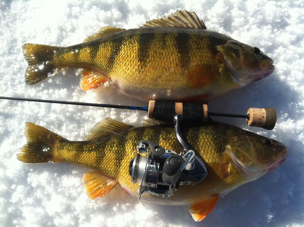 Tucr perch in depth outdoors for Sun perch fish