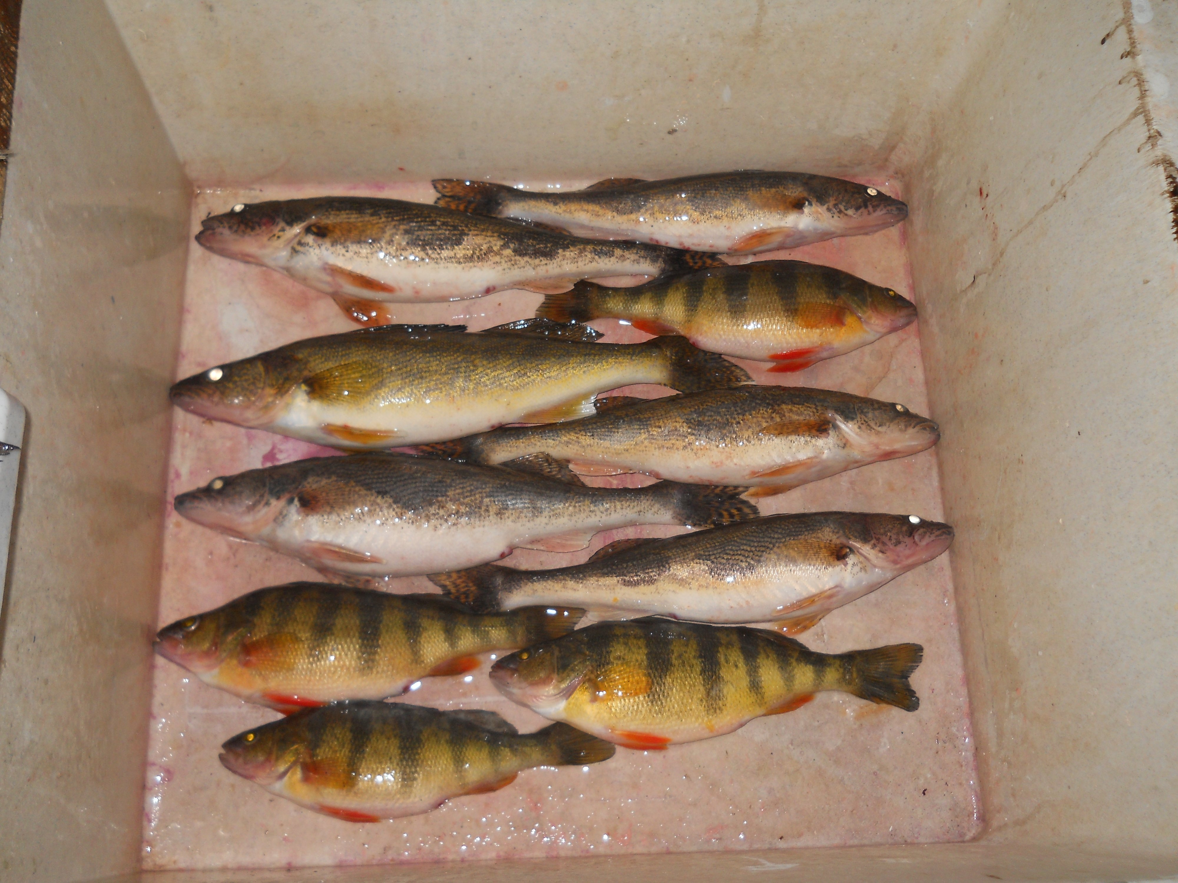 Walleye on plastics exclusively ice fishing forum in for Ice fishing plastics